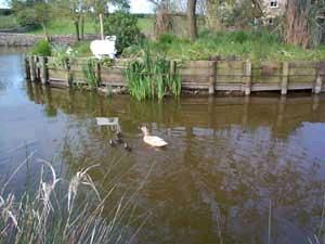 Ducklings on the pond